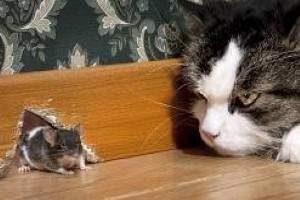 C mo acabar con las ratas con remedios caseros trucos - Como acabar con las pulgas en casa ...