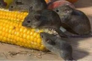 Como ahuyentar ratas sin matarlas