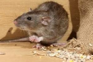 Cómo terminar con las ratas en casa