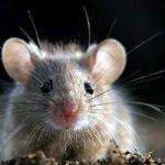 Como eliminar ratones definitivamente: remedios, trampas, ultrasonido