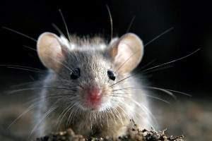 Como eliminar ratones definitivamente