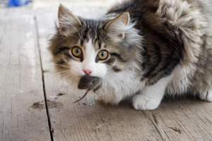 Como eliminar ratones definitivamente gatos