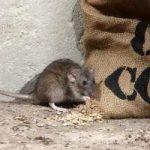 Como eliminar una plaga de ratones: venenos, trampas, mascotas