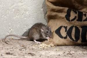 Como eliminar una plaga de ratones venenos trampas mascotas - Eliminar ratas en casa ...