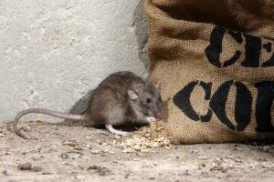 Cómo eliminar una plaga de ratones