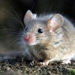 Cómo espantar ratones con remedios caseros: trucos, técnicas, consejos