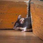 Como exterminar ratones en el hogar: remedios, trampas, venenos