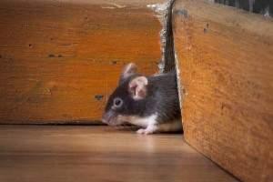 Cómo exterminar ratones en el hogar: remedios, trampas, venenos