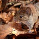 Cuáles son los métodos para matar ratones: remedios caseros, venenos