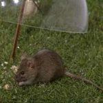 Cómo acabar con las ratas en el jardín: eliminar los ratones del jardín