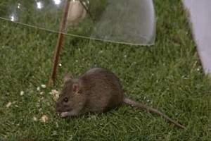 Trampa para ratas archivos como eliminar ratas de casa - Como alejar las ratas de la casa ...