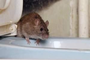 Cómo hacer que un ratón salga de su escondite