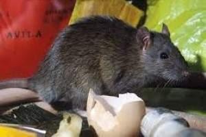Como atrapar ratones en casa best cmo saber si hay - Como eliminar ratas en casa ...