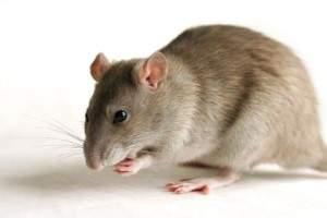 Cómo terminar con las ratas en casa con remedios caseros