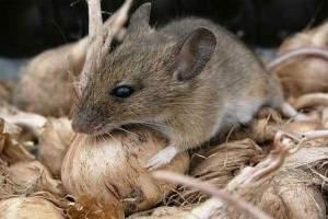 C mo saber si hay ratones en mi casa cu ntos y d nde se esconden - Ratones en casa ...