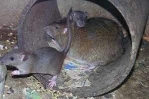 Dónde viven los ratones y de qué se alimentan