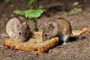 Eliminar ratas y ratones del jardín