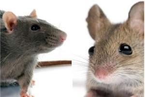 Información sobre las ratas y ratones