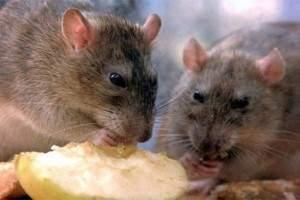 Qué comen las ratas