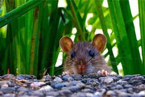 Cómo eliminar ratas del jardín