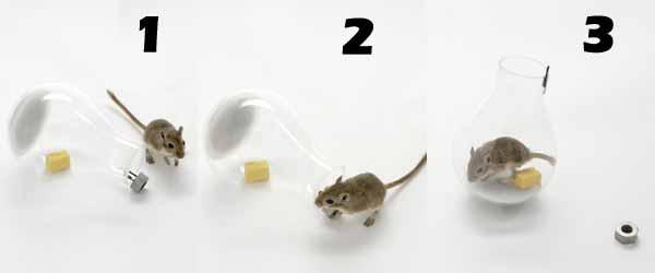Cómo atrapar un ratón con una trampa casera