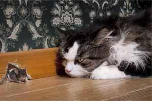 Cómo matar un ratón con un gato