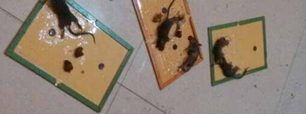 Trampas para ratones con pegamento