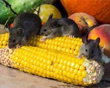 Eliminar ratas y ratones archivos como eliminar ratas de - Como eliminar ratas en casa ...