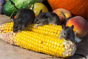 Cómo matar un ratón pequeño o grande