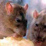 Cebo para rata: casero, efectivo, cómo funciona