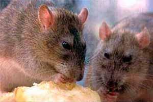Cebo para rata