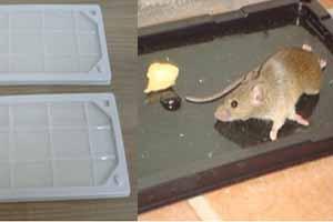 Cómo atrapar una rata con pegamento