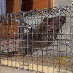 Cómo atrapar una rata en casa: rápido, sin matarla, trampas