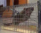 Cómo atrapar una rata en casa sin matarla