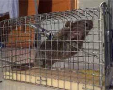 Trampas para ratones caseras efectivas y mortales las mejores - Como eliminar ratas en casa ...