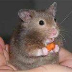 Ratón: información, características generales de los ratones